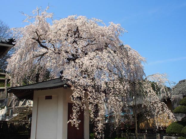 蓮照寺 一本桜