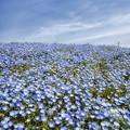 Photos: ネモフィラの咲く丘