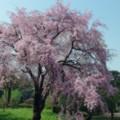 Photos: 桜の思い出