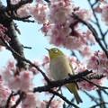 寒桜に夢中~♪