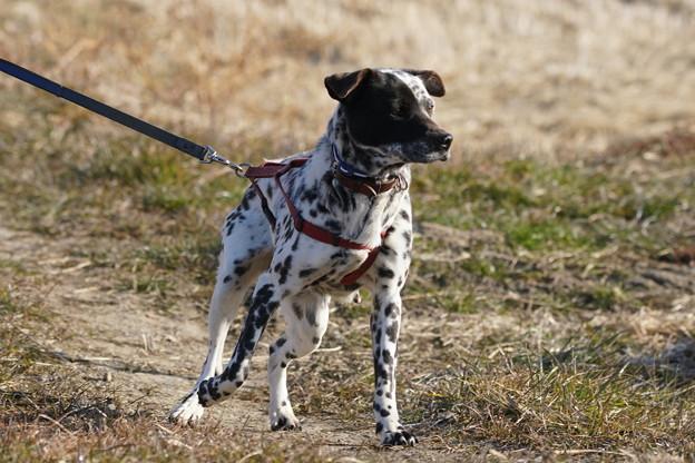 pz2131 散歩犬