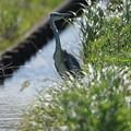 写真: pz3637 アオサギ