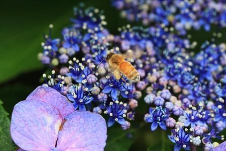 2012.06.23 和泉川 アジサイにミツバチ