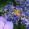 写真: 2012.06.23 和泉川 アジサイにミツバチ