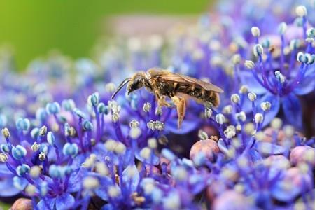 2012.06.25 和泉川 アジサイにミツバチ