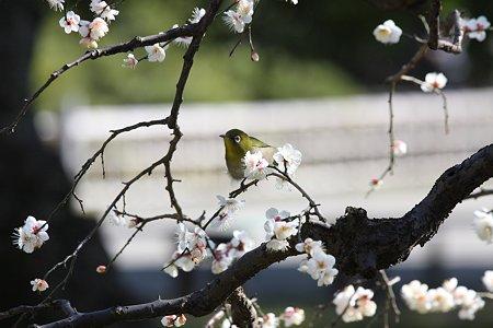 2009.02.08 浜離宮 満月枝垂にメジロ