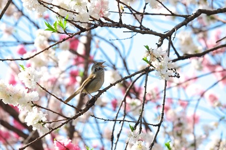 2014.04.13 和泉川  ウグイス 「ホーホケキョ」