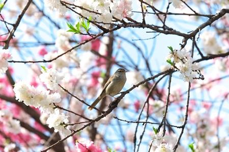 2014.04.13 和泉川  ハナモモへウグイス