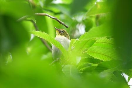 2014.06.10 和泉川 栗の木にメジロ 巣立ちの朝