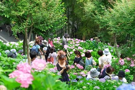 2014.06.17 鎌倉 長谷寺 紫陽花回廊