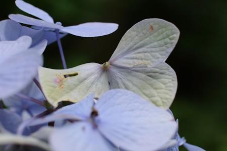 2014.07.03 瀬谷市民の森 アジサイ 紋白蝶と勘違い