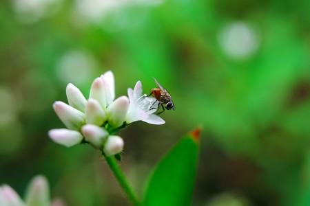 2015.10.18 追分市民の森 ミゾソバに小さな蠅