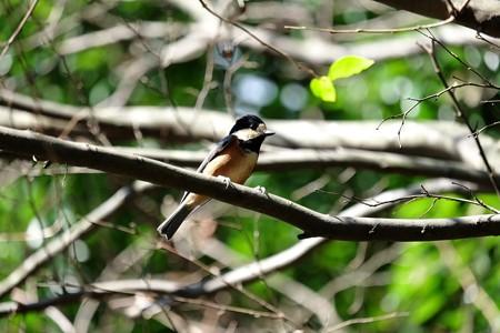 2015.11.21 瀬谷市民の森 エゴノキにヤマガラ