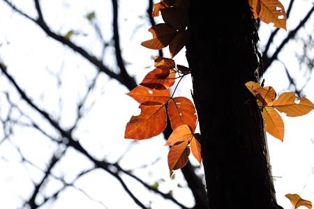 2015.11.30 瀬谷市民の森 掃われる頃