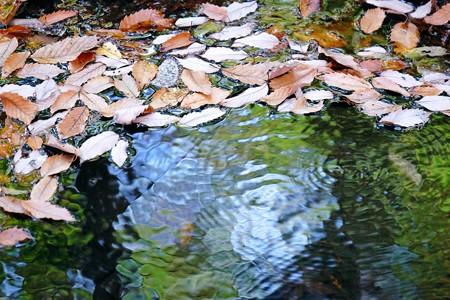 2015.12.19 瀬谷市民の森 水源に落葉