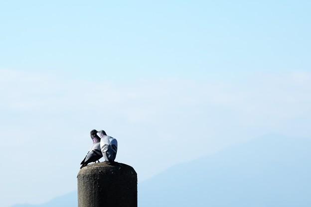 2015.12.20 駅前 富士隠れの電柱でハト