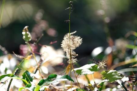 2015.12.26 瀬谷市民の森 キッコウハグマ