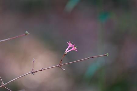 2015.12.29 追分市民の森 ウグイスカグラ