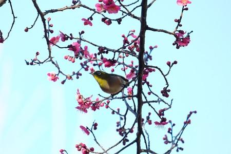 2016.02.05 和泉川 紅梅とメジロ