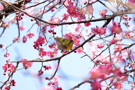 2016.02.05 和泉川 紅梅にメジロ
