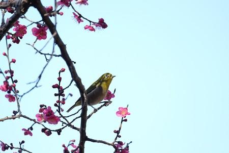 2016.02.05 和泉川 紅梅へメジロ