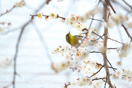 2016.02.05 和泉川 梅にメジロ