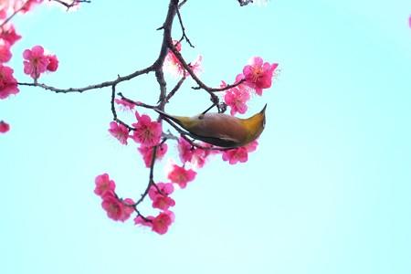 2016.02.13 和泉川 紅梅へメジロ
