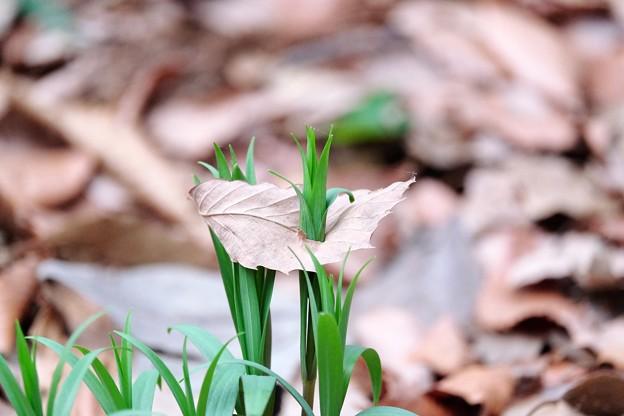2016.02.15 瀬谷市民の森 枯葉の下から春 バイモ