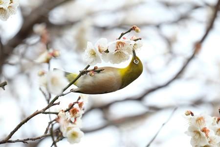 2016.02.23 和泉川 梅へメジロ 吸蜜