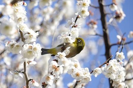 2016.03.02 和泉川 梅にメジロ