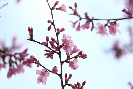 2016.03.05 和泉川 オカメザクラ