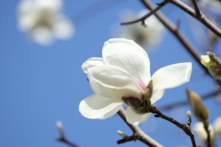 2016.03.06 和泉川 ハクモクレン