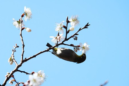2016.03.06 和泉川 早咲きの桜にメジロ 吸蜜