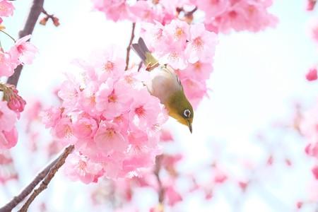 2016.03.26 和泉川 桜にメジロ