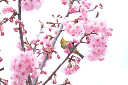 2016.03.26 和泉川 桜へメジロ 見上げて