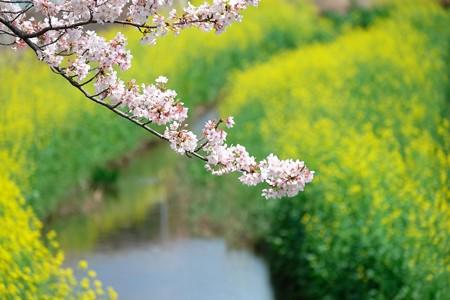 2016.04.09 和泉川 桜と菜の花