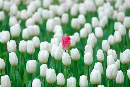 2016.04.11 横浜公園 チューリップ 紅一点