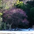 Photos: 2018.01.27 和泉川 畑の紅梅 蕾膨らむ