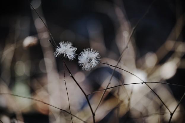 2018.02.08 瀬谷市民の森 コウヤボウキ