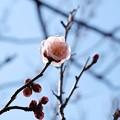 写真: 2018.02.15 大池公園 ウメ