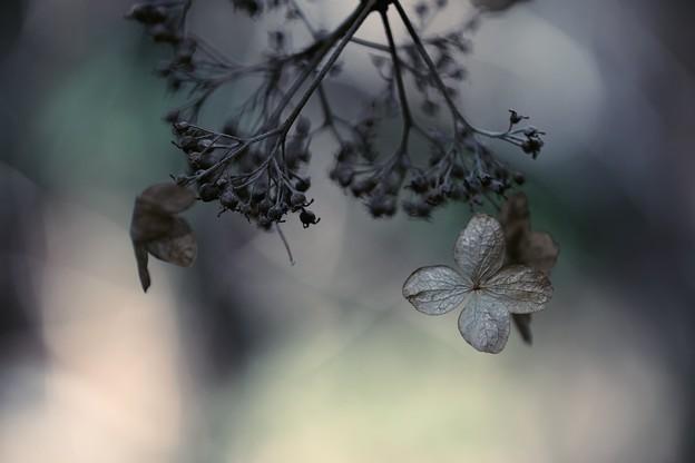 2018.02.16 瀬谷市民の森 アジサイ