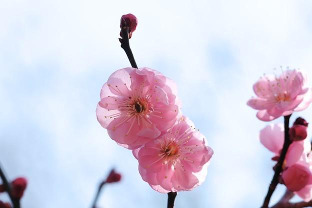 2018.02.24 大池公園 ウメ 八重