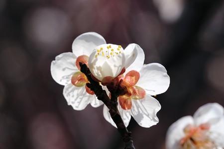 2018.02.24 大池公園 ウメ. 誕生jpg