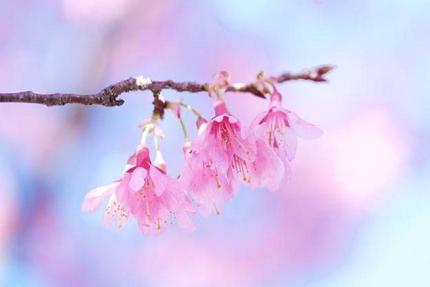 2018.03.12 和泉川 オカメザクラ
