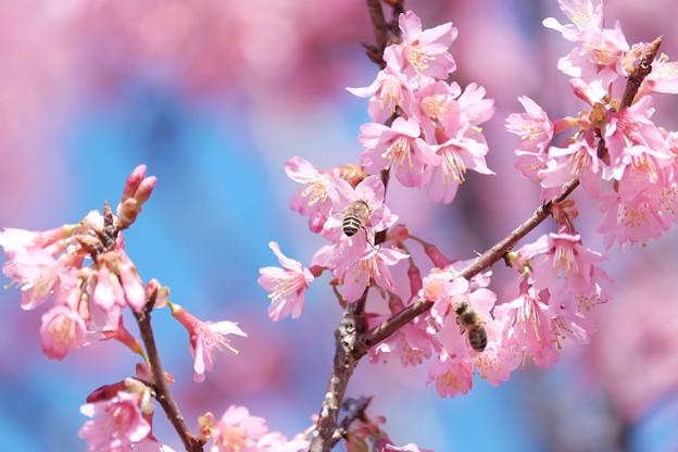 2018.03.12 和泉川 おかめ桜とミツバチ