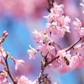 写真: 2018.03.12 和泉川 おかめ桜とミツバチ