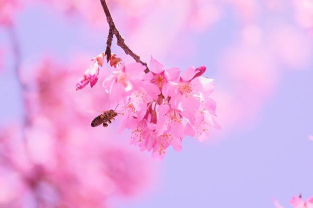 2018.03.14 和泉川 おかめ桜へミツバチ