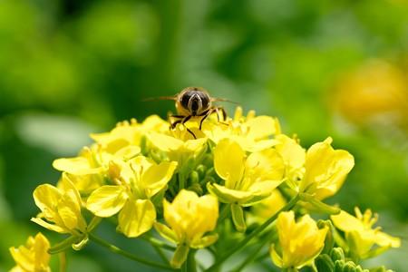 2018.03.15 追分市民の森 菜の花にミツバチ