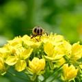 写真: 2018.03.15 追分市民の森 菜の花にミツバチ