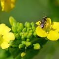 写真: 2018.03.15 追分市民の森 菜の花へハバチ